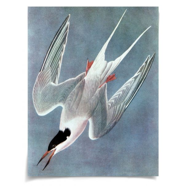 Audubon 12: Unframed Ready to Ship 19x27""