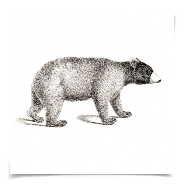 Young Animals: Bear: Unframed Ready to Ship 14x14""