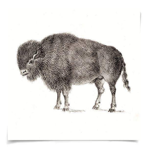 Young Animals: Bison: Unframed Ready to Ship 14x14""
