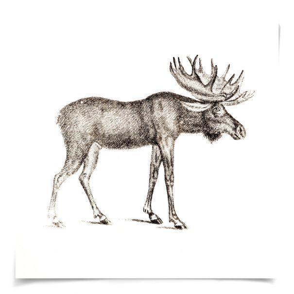 Young Animals: Moose: Unframed Ready to Ship 14x14""