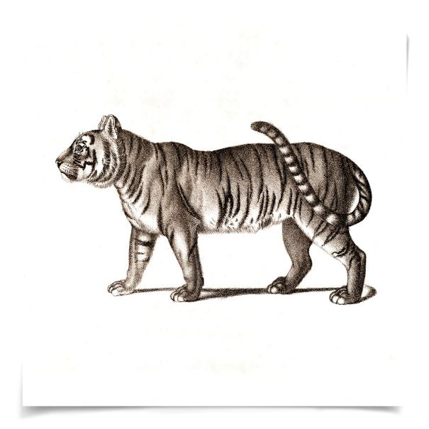 Young Animals: Tiger: Unframed Ready to Ship 14x14""