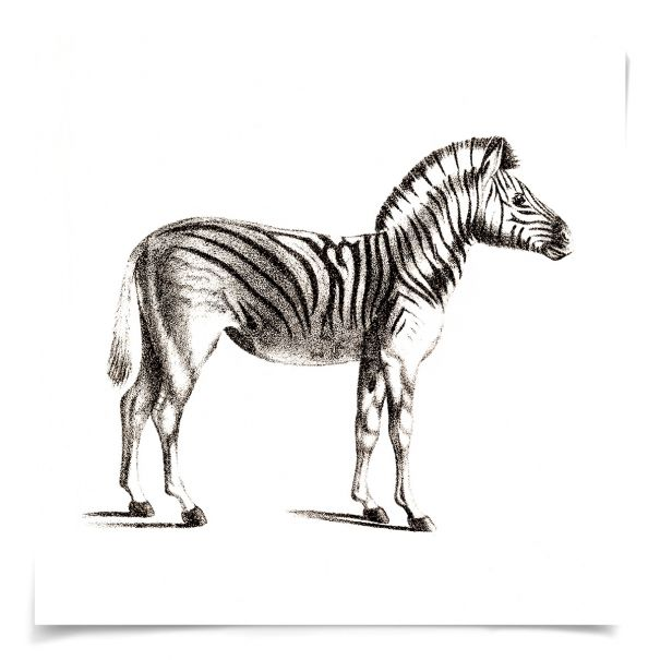 Young Animals: Zebra: Unframed Ready to Ship 14x14""