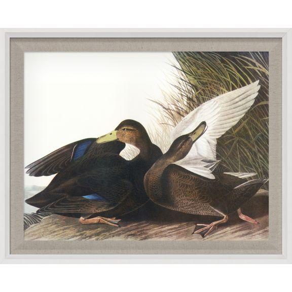 Audubon Ducks 11