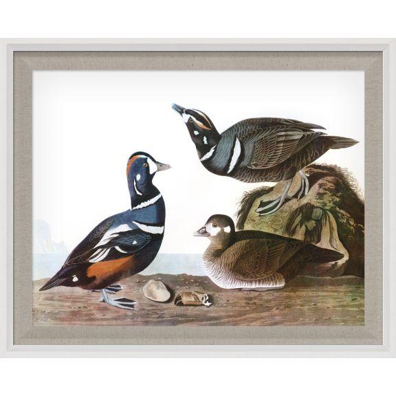 Audubon Ducks 12