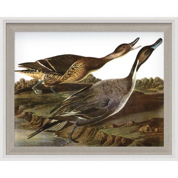 Audubon Ducks 5