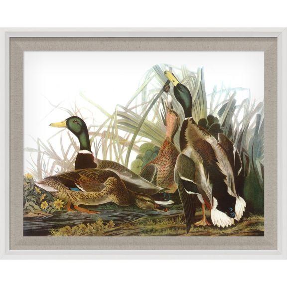Audubon Ducks 6
