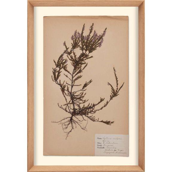 Herbarium, no.8