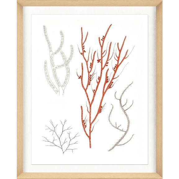 Migula Seaweeds No. 1