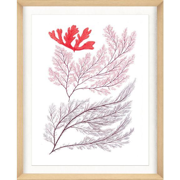 Migula Seaweeds No. 3