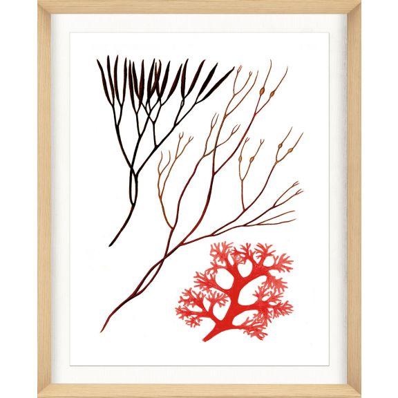 Migula Seaweeds No. 5